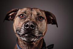 animal, dog, pet, snout, mammal, close-up, staffordshire bull terrier, black,