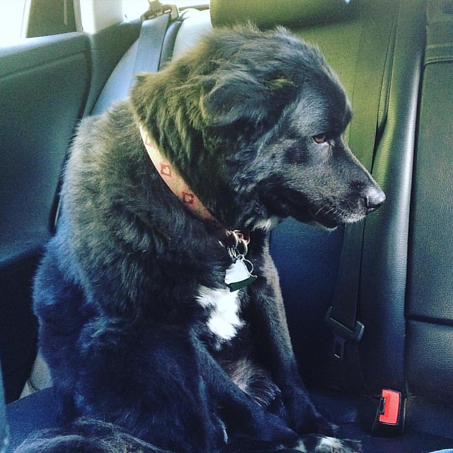 Bear Cub does not enjoy riding in the car. 👎