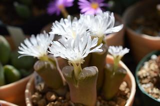 DSC_0361 Ophthalmophyllum triebneri オフタルモフィルム 風琴玉(=Conophytum friedrichiae)