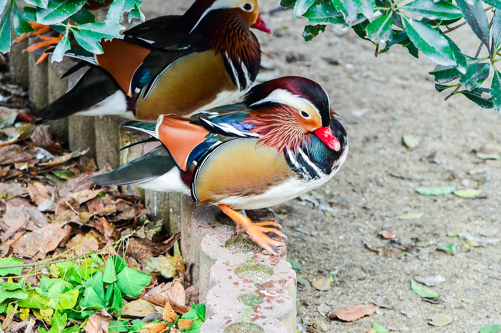 Mandarin Ducks at Tennōji Zoo, Osaka