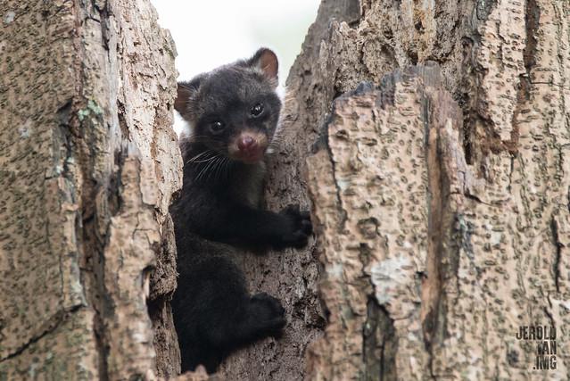 Asian Palm Civet - Baby