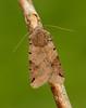 Brown-spot Pinion Agrochola litura by Iain Leach