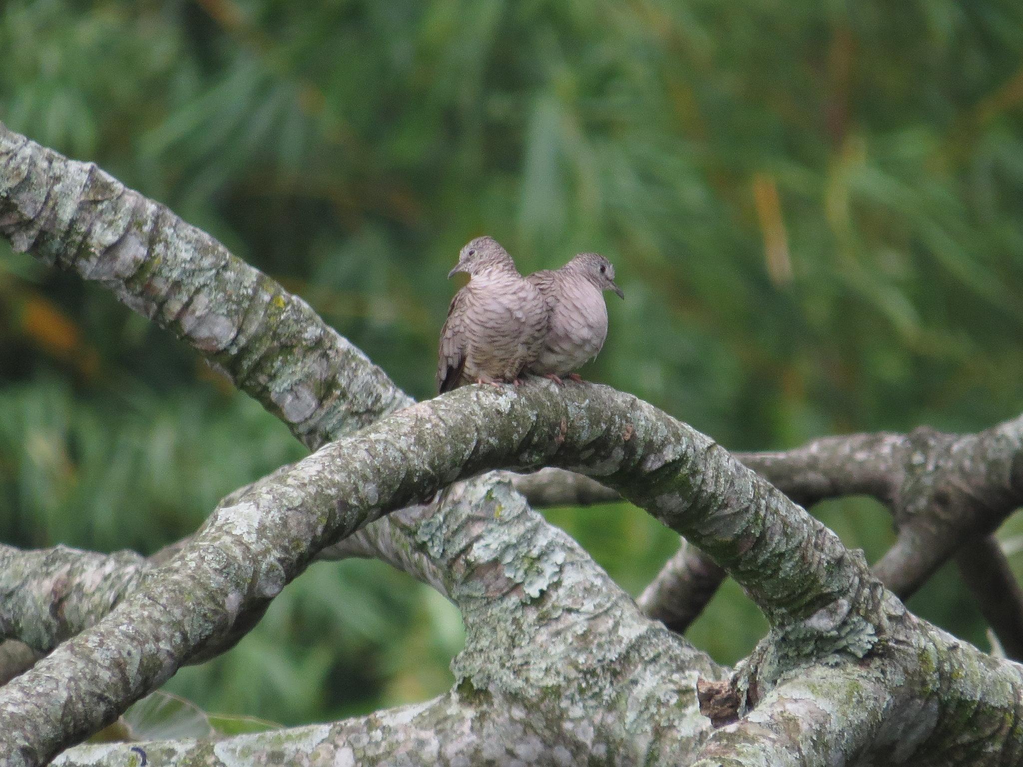 Inca Doves by Seth Inman -La Paz Group