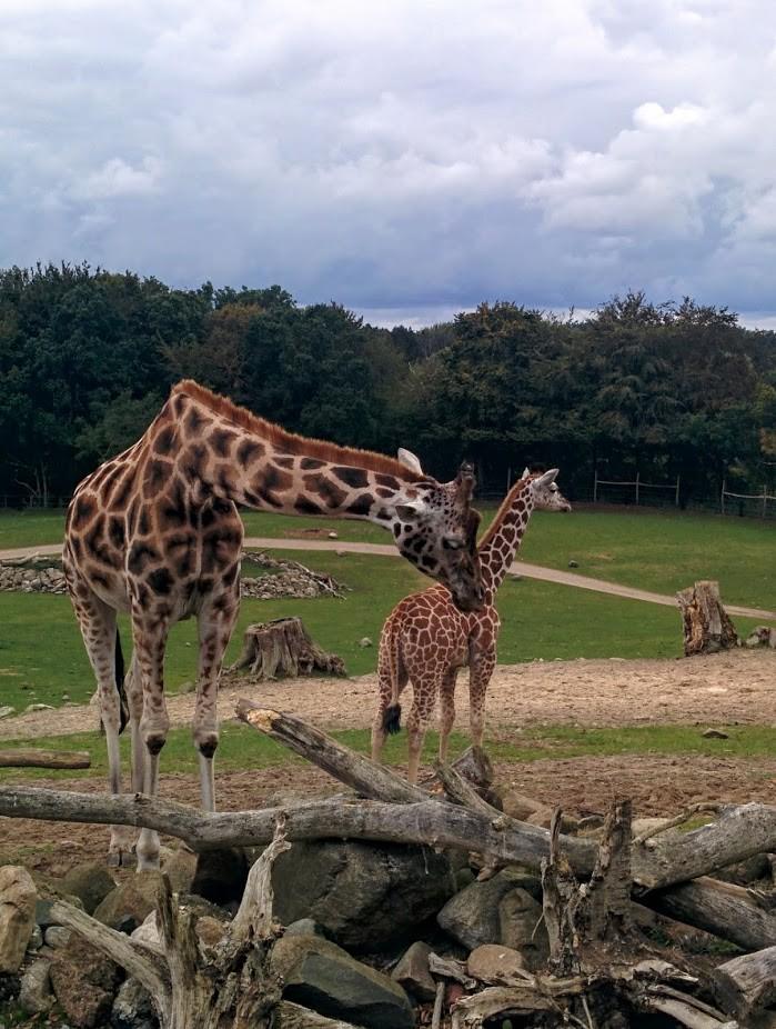 Ree Park Safari - Giraffer