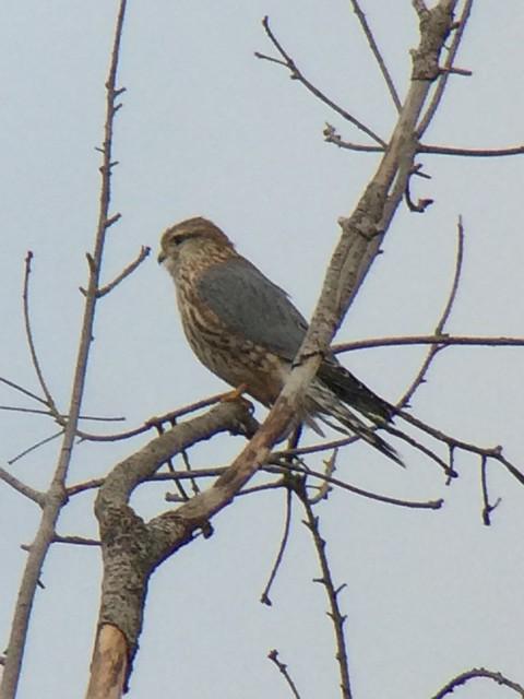 Merlin, suspect Prairie variety. Nisqually NWR, Visitor Center.
