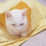 . 気づいたら、くるまってた。 「あったかですにゃー」 #nekomikan #みかん #しろねこ #白猫 #whitecat #香箱座り #catloaf @nocoto_store