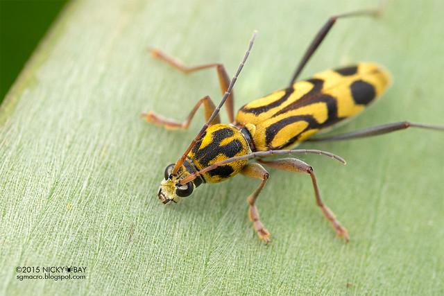 Longhorn beetle (Chlorophorus annularis) - DSC_8190