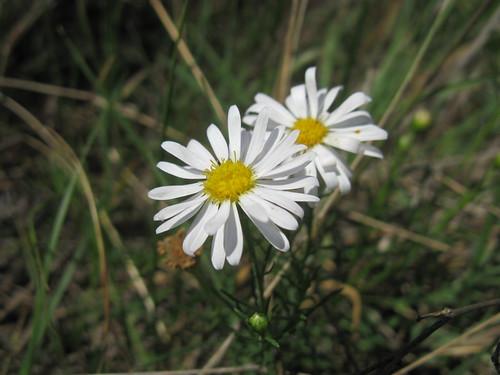 Minuria leptophylla head4 NC