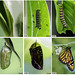 Life cycle of a monarch butterfly by Alesfra