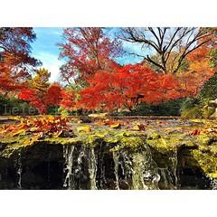 I just love fall #fall #fallcolors  #leley  #arvoresvermelhas #red #mapletrees #likeforlike  #like4like  #texas  #outono  #water #runningwater#follow4follow  #followforfollow