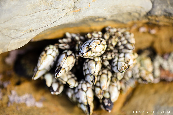 Barnacles // San Diego Tide Pools // Cabrillo National Monument.
