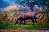 Blue Bull (World Animal Day)