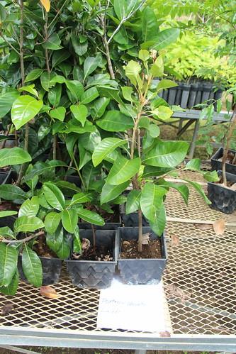 rota nurseries pouteria pouteriaobovata sapotaceae