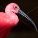BIRD SCARLET IBIS SURINAM AMAZONE SOUTH-AMERICA