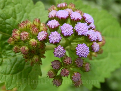 mistflower stages