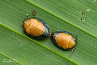 Tortoise beetle (Calyptocephala cf. gerstaeckeri) - DSC_0452