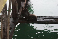 Sea lions hung out under the pier