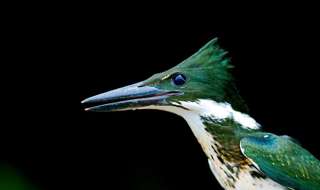 Kingfisher_61