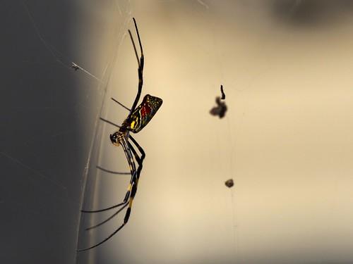 ジョロウグモ横から