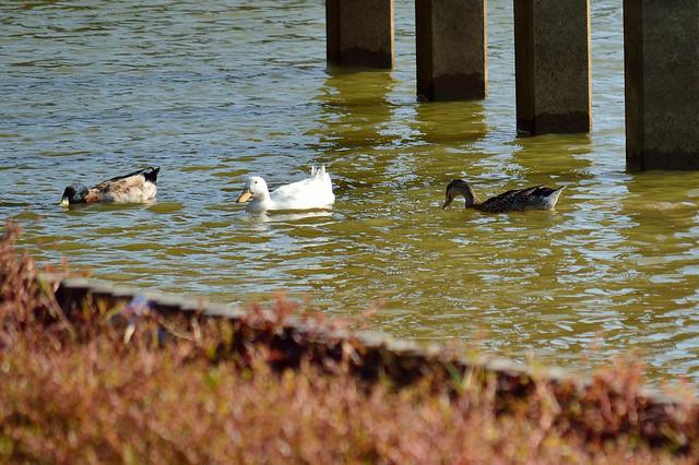 アヒル&マガモ Ducks