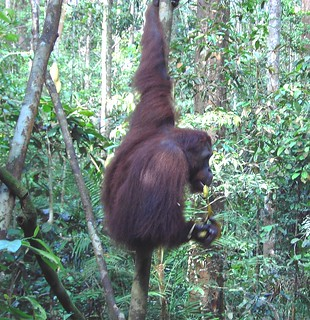 Near Kuching in Sarawak. Orangatan rehabilitation sanctuary.