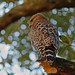 Bokeh With Hawk by Karen Kleis