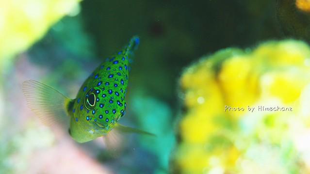 かわいかった!ルリホシスズメダイの幼魚