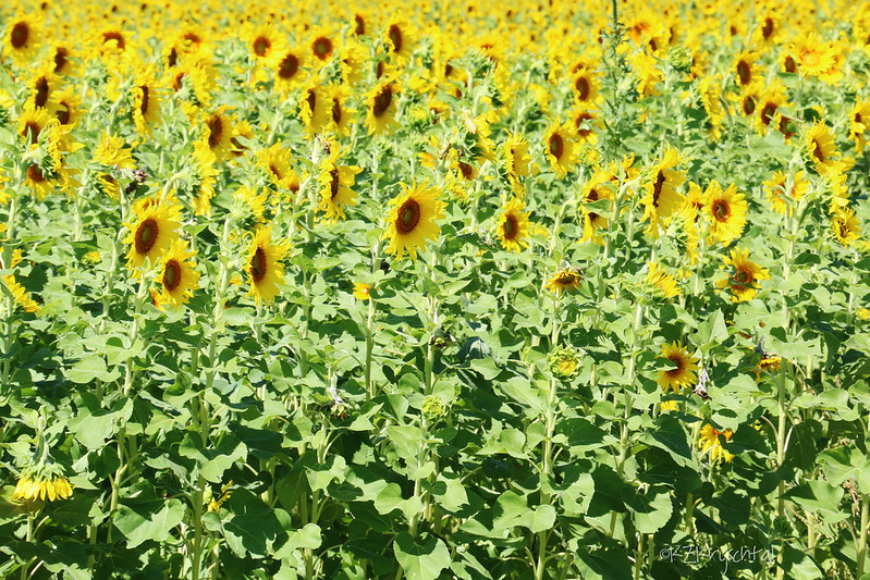 IMG_1877SunflowerField