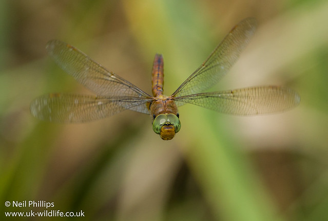 Norfolk hawker in flight