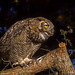 Great Horned Owl by E_Rick1502