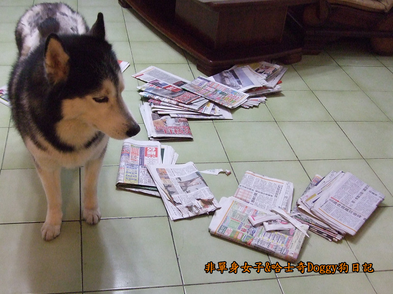 2011哈士奇doggy做壞事08
