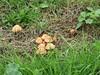 Brown toadstools IMG_6205 by tomylees