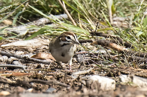NJ: Lark Sparrow