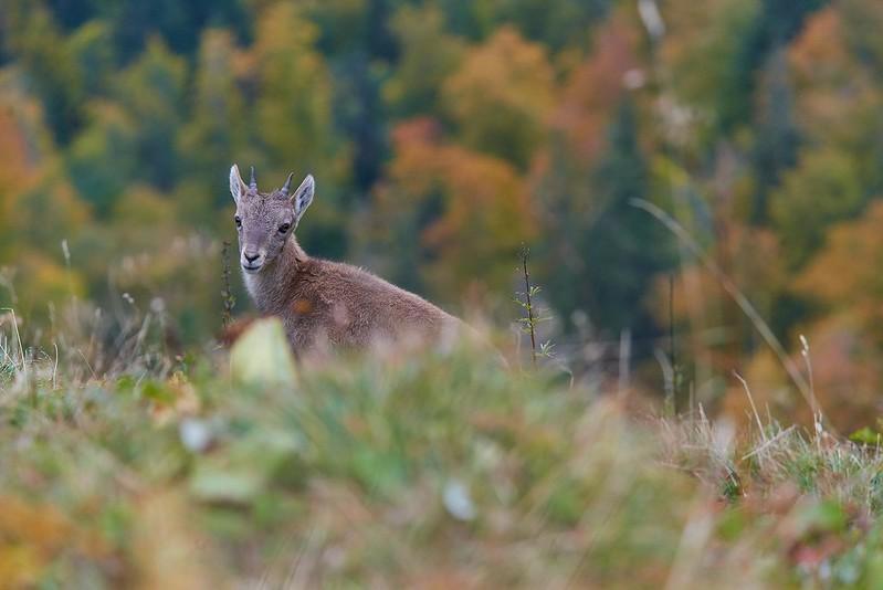 Alpine ibex kid - Creux du Van