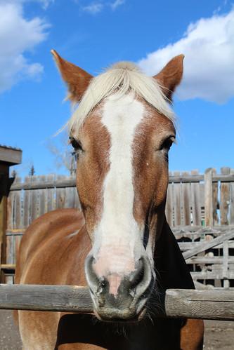 Belgian Horse