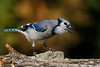 Autumn Blue Jay by ChristinaAnne.M