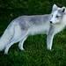Foxy Pol by conwest_john