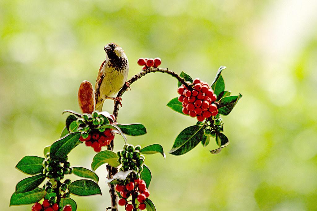 gorrión en rama con frutillos