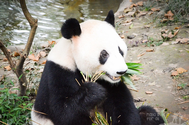 Giant Pandas of Chengdu