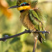 Little Bee-eater by Gerhard Theron