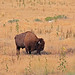 A Bison in Antelope Island by zgrial