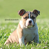 Exotic Mini American Bully Puppy by Rock City Kennels