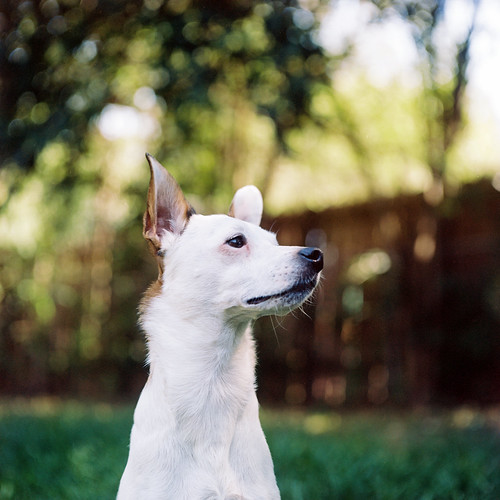 Portrait of a Jack Russell Terrier in Austin, Texas