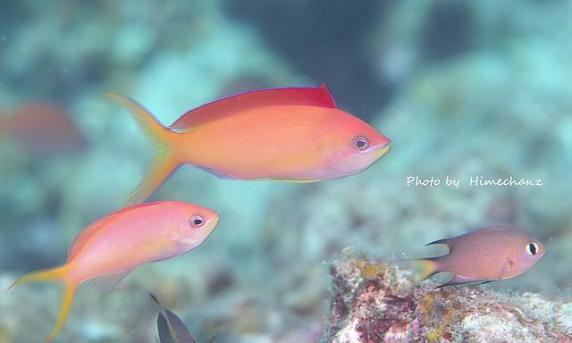 美しいアカネハナゴイの雄と雌。