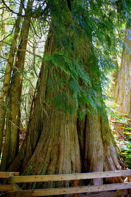 The Big Tree, Ancient Forest