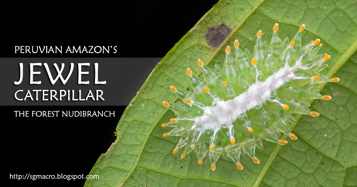 Peruvian Amazon's Jewel Caterpillar: The Forest Nudibranch