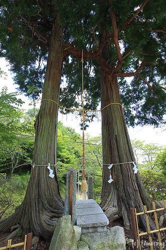 "the married couple cypress""Meotohinoki"""