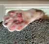Polydactyl hind paw 1