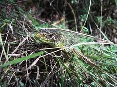 lucertola - lagartija - lizard - jaszczurka