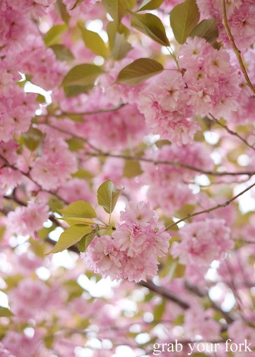 Sakura cherry blossoms at Fort Goryokaku, Hakodate, Hokkaido